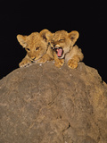 Lion Cubs on Termite Mound, Panthera Leo, Chobe National Park, Botswana Photographic Print by Frans Lanting