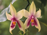 Orchids, Phalaenopsis Violacea, Sarawak, Borneo Photographic Print by Frans Lanting