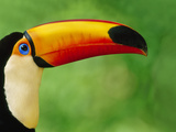 Toco Toucan, Ramphastos Toco, Pantanal, Brazil Photographic Print by Frans Lanting
