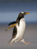 Gentoo Penguin Running, Pygoscelis Papua, Falkland Islands Photographic Print by Frans Lanting