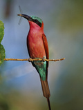 Carmine Bee-Eater with Insect, Merops Nubicus, Botswana Photographic Print by Frans Lanting