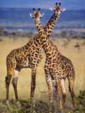 Masai Giraffes, Giraffa Camelopardalis Tippelskirchi, Masai Mara Reserve, Kenya Fotografiskt tryck av Frans Lanting