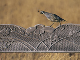 California Quail on Garden Bench, Callipepla Californica, Monterey Bay, California Photographic Print by Frans Lanting