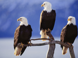 Bald Eagles, Haliaeetus Leucocephalus, Southeast Alaska Photographic Print by Frans Lanting