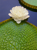 Giant Water Lily, Victoria Regia, Pantanal, Brazil Photographic Print by Frans Lanting