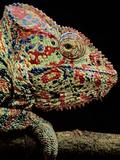 Oustalet's Chameleon, Furcifer Oustaleti, Madagascar Photographic Print by Frans Lanting