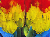 Scarlet Macaw Wing Plumage, Ara Macao, Peru Photographic Print by Frans Lanting
