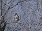 Red-Tailed Hawk in Frosted Tree, Buteo Jamaicensis, Klamath Basin Nat Wildlife Refuge, California Photographie par Frans Lanting