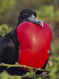 Magnificent Frigate Bird Male, Fregata Magnificens, Galapagos Islands Reproduction photographique par Frans Lanting