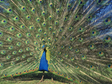 Peacock Male Displaying, Pavo Cristatus, California Photographic Print by Frans Lanting