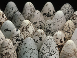 Common Murre Eggs, Uria Aalge, Western Foundation of Vertebrate Zoology, Los Angeles, California Photographic Print by Frans Lanting