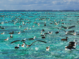 Laysan Albatross Juveniles on Lagoon, Phoebastria Immutabilis, Midway Atoll, Hawaiian Leeward Is Photographic Print by Frans Lanting