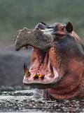 Hippo Threatening, Hippopotamus Amphibius, Linyanti Swamp, Botswana Photographic Print by Frans Lanting