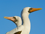 Masked Booby Pair, Sula Dactylatra, Tower Island, Galapagos Islands Photographic Print by Frans Lanting