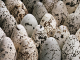 Common Murre Eggs, Uria Aalge, Western Foundation of Vertebrate Zoology, Los Angeles, California Fotografisk trykk av Frans Lanting