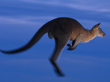 Eastern Gray Kangaroo Leaping, Macropus Giganteus, Murramarang National Park, Australia Fotografisk tryk af Frans Lanting