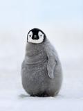 Emperor Penguin Chick, Aptenodytes Forsteri, Antarctica Reprodukcja zdjęcia autor Frans Lanting