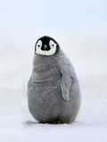 Emperor Penguin Chick, Aptenodytes Forsteri, Antarctica Photographic Print by Frans Lanting