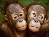 Young Bornean Orangutans Embracing, Pongo Pygmaeus, Sepilok Reserve, Sabah, Borneo Fotografisk tryk af Frans Lanting