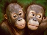 Young Bornean Orangutans Embracing, Pongo Pygmaeus, Sepilok Reserve, Sabah, Borneo Photographic Print by Frans Lanting