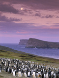 Gentoo Penguin Colony at Twilight, Pygoscelis Papua, Falkland Islands Photographic Print by Frans Lanting
