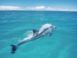 Spinner Dolphin, Stenella Longirostris, Midway Atoll National Wildlife Refuge, Hawaii Photographic Print by Frans Lanting