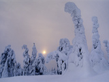 Spruces in Snow, Picea Obovata, Finland Photographic Print by Frans Lanting