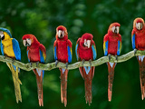 Blue-And-Yellow, Ara Ararauna, and Scarlet, Ara Macao, Macaws, Peru Photographic Print by Frans Lanting