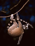 Ring-Tailed Lemur Hanging from Vine, Lemur Catta, Berenty Reserve, Madagascar Photographic Print by Frans Lanting