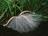 Superb Lyrebird Displaying, Menura Novaehollandiae, Sherbrooke Forest, Southeast Australia Photographic Print by Frans Lanting