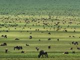 Wildebeests Grazing, Connochaetes Sp., Serengeti National Park, Tanzania Fotografie-Druck von Frans Lanting