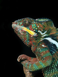 Panther Chameleon, Furcifer Pardalis, Madagascar Photographic Print by Frans Lanting