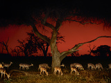Impalas at Twilight, Aepyceros Melampus, Chobe National Park, Botswana Photographic Print by Frans Lanting