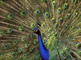 Peacock (Indian Peafowl) Male Displaying, Pavo Cristatus. Photographic Print by Frans Lanting