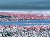 Lesser Flamingos Feeding, Phoenicopterus Minor, Lake Nakuru National Park, Kenya Photographic Print by Frans Lanting