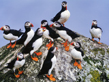Atlantic Puffin Flock, Fratercula Arctica, Outer Hebrides, Scotland Photographic Print by Frans Lanting