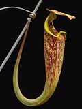 Pitcher Plant, Nepenthes Stenophylla, Bako National Park, Sarawak, Borneo Photographic Print by Frans Lanting
