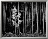 Aspens, Northern New Mexico, 1958 Posters by Ansel Adams