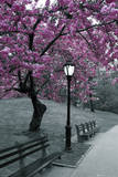Central Park en flor Lámina