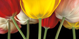 Sunshine Tulips Prints by Assaf Frank