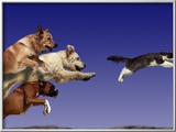 Dogs Chasing Cat Framed Photographic Print by Tim Davis