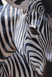 Zebra Stripes Print by P. Charles
