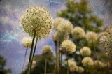 Dandelions I Print on Canvas by Jo Ann Tooley
