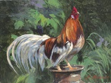 Red And White Rooster Print on Canvas by Nenad Mirkovich