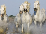 Camargue horses running Print on Canvas by Theo Allofs