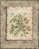 Vintage Herbs, Parsley Print on Canvas by Constance Lael