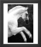 White Horse Prancing Prints by Tim Lynch