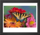 Eastern Tiger Swallowtail Female on Gerber Daisies, Sammamish, Washington, USA Posters by Darrell Gulin