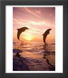 Bottlenose Dolphins, Caribbean Sea Near Roatan, Honduras Posters by Stuart Westmoreland