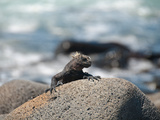Landleguan auf Galapagos Photographic Print by Oliver Schwartz